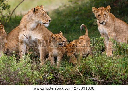 Lion mother with her cubs in Masai Mara, Kenya - stock photo