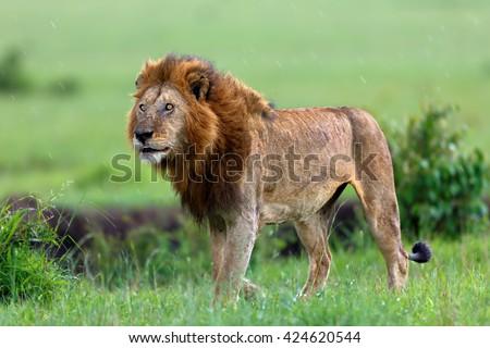 Lion of Maji Ya Fisi Pride in the rain in Masai Mara, Kenya - stock photo