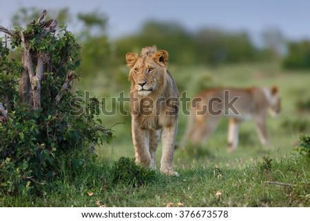 Lion of Maji Ya Fisi Pride, one of Notches sons, in Masai Mara, Kenya - stock photo