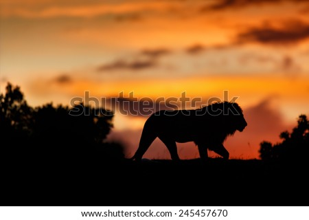 Lion of Rekero Pride at sunrise in Masai Mara, Kenya - stock photo