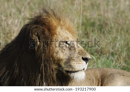 Lion on a rest at Masai Mara national reserve, Kenya
