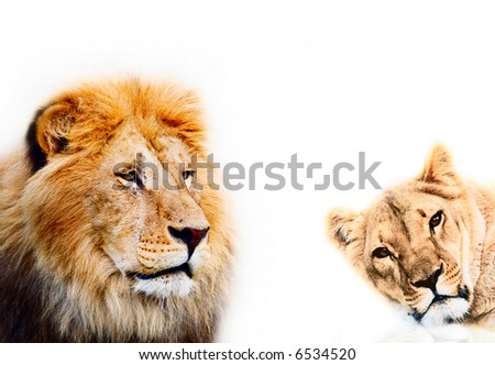 lion on a white background - stock photo