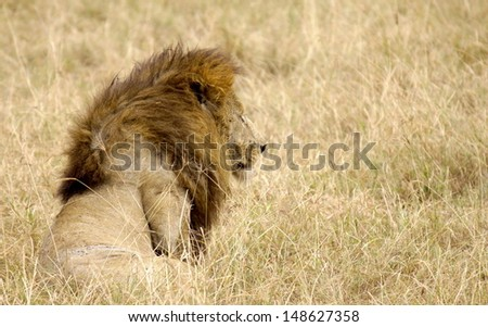 Lion on the lookout for another prey - stock photo