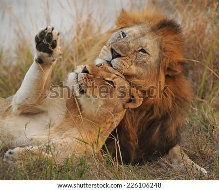 lion pair courtship - stock photo