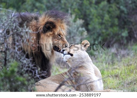 Lion pair in the Amakhala Game Reserve, Eastern Cape, South Africa.