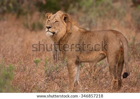lion, panthera leo - stock photo