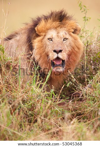 Lion (panthera leo) about to strike in savannah in South Africa