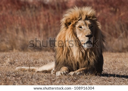 Lion (Panthera leo) at a Big Cat Sanctuary in South Africa - stock photo