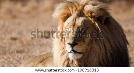 Lion (Panthera leo) at a Big Cat Sanctuary in South Africa