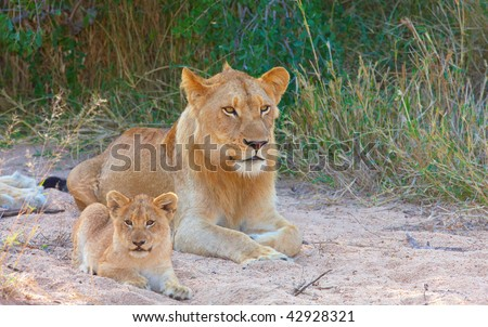 Lion (panthera leo) cub lying next to his family in savannah in South Africa