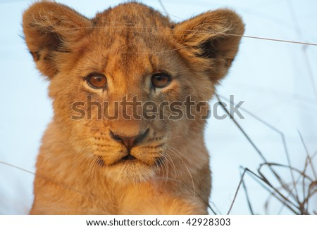 Lion (panthera leo) cub sitting in savannah in South Africa