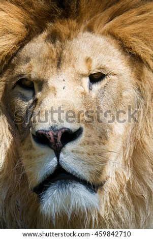 Lion (Panthera leo) detail male head