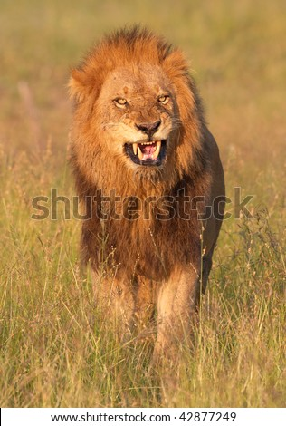 Lion (panthera leo) looking very angry in savannah in South Africa - stock photo