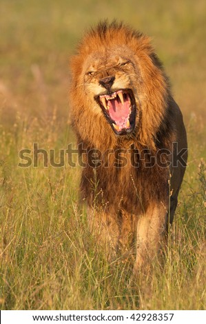 Lion (panthera leo) looking very angry in savannah in South Africa
