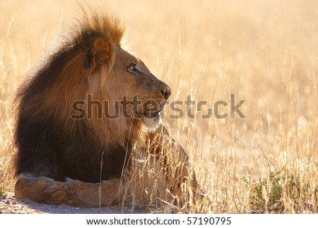 Lion (panthera leo) lying in savannah in South Africa