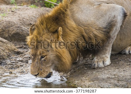Lion (Panthera leo) male
