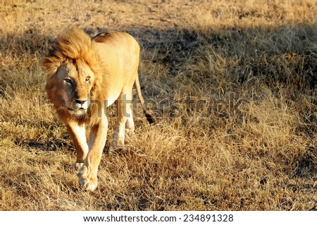 Lion (Panthera leo) on the Masai Mara National Reserve safari in southwestern Kenya. - stock photo