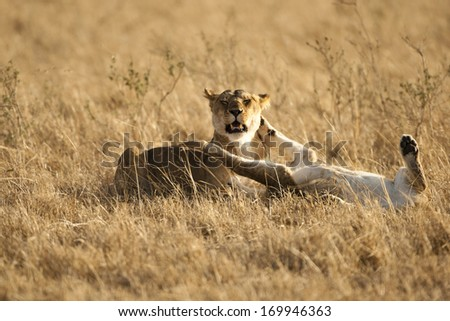 Lion, Panthera leo, playing in the grasses of the Lower Mara, Masai Mara GR, Kenya
