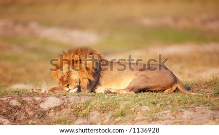 Lion (panthera leo) with many scratches on his face sleeping in savannah in Botswana