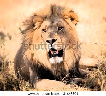 Lion portrait close up - stock photo
