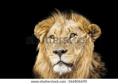 Lion portrait isolated in black background ; Specie Panthera leo family of felidae - stock photo