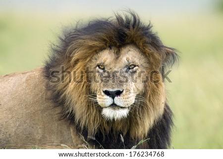 Lion portrait. Masai Mara - stock photo