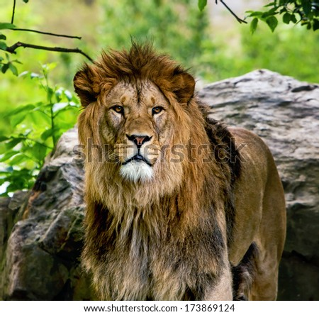 Lion, portrait of the king of beasts  - stock photo