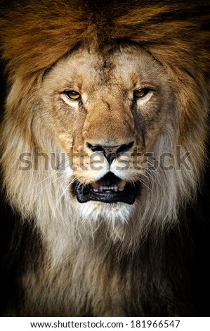 Angry Lion Stock Images Royalty Free Images Amp Vectors