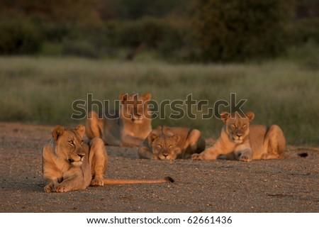 Lion Pride - stock photo