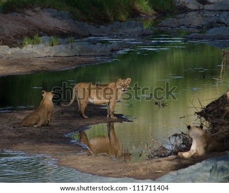 Lion pride drinks from river early in the morning