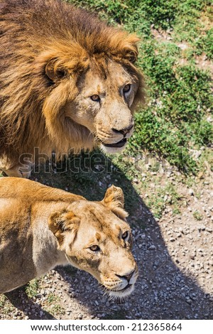 "Lion Pride in nature safari park ""Taigan"" Belogorsk Crimea"