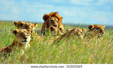 Lion Pride soaking up the sun in Serengeti National Park, Tanzania. - stock photo