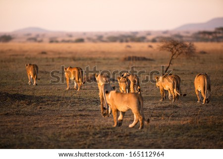 Lion pride walking a early morning in Serengeti, Tanzania. Sunrise, east Africa. - stock photo
