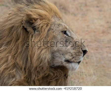 Lion profile head shot with dry grassland background taken in the Masai Mara in Kenya.