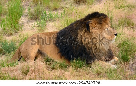 lion relaxing on the plains  of   the wild animal sanctuary in keenesburg,  colorado    - stock photo