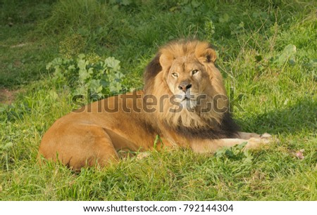Lion resting after a meal