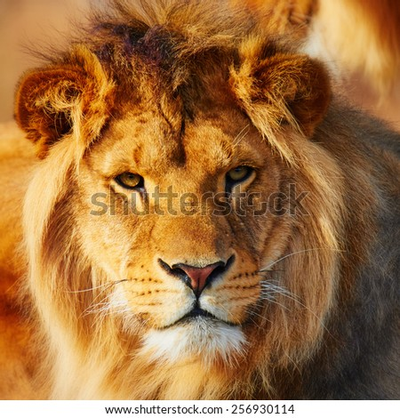 Lion resting in a dark forest, sun shining in his face