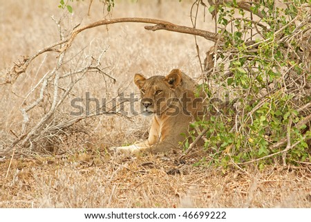 Lion resting in the bush