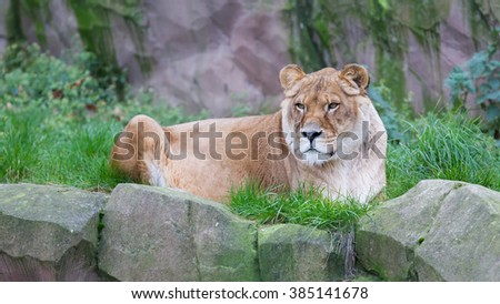 Lion resting in the green grass (Panthera Leo), selective focus on eyes - stock photo