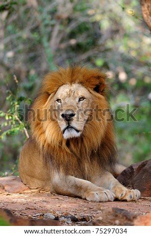Lion resting under trees - stock photo