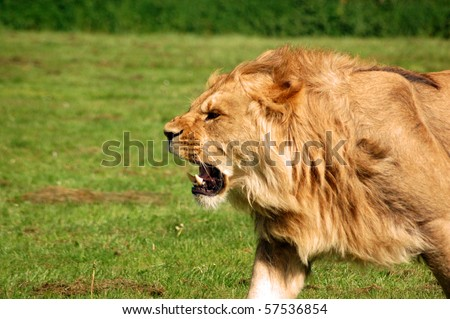 Lion Roaring 'Panthera Leo', African lion snarling.  Male lion roaring as he chases a lioness. - stock photo