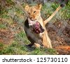Lion running with just caught deer leg in mouth - stock photo