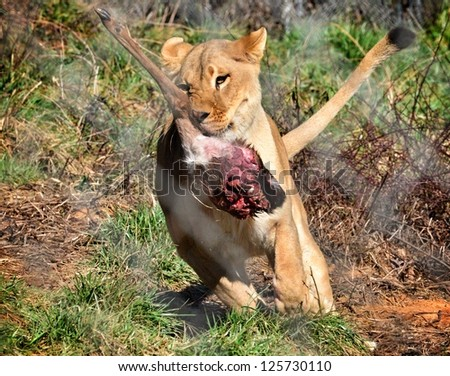 Lion running with just caught deer leg in mouth