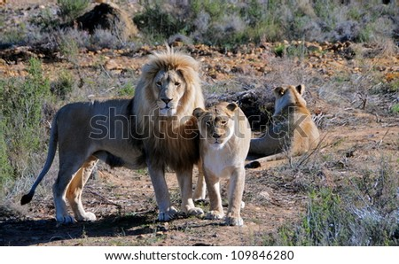 Lion's safari, South africa - stock photo