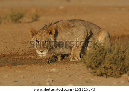 Lion's stare - stock photo