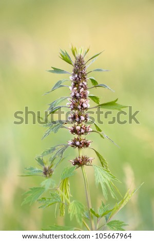 Lion's tail - stock photo