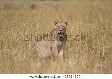 Lion seating in yellow grass - stock photo