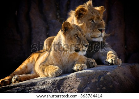 Lion Siblings - stock photo