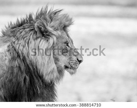 Black And White Lion Stock Images, Royalty-Free Images ...