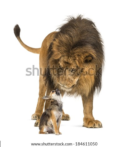 Lion sitting and looking at a chihuahua - stock photo